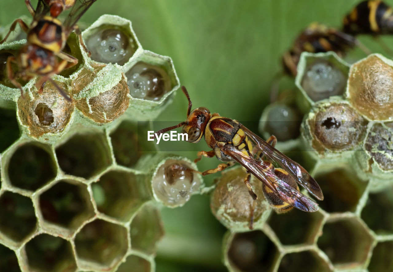 animals in the wild, invertebrate, animal wildlife, animal themes, insect, animal, close-up, bee, one animal, no people, selective focus, nature, honeycomb, day, beehive, focus on foreground, zoology, apiculture, honey bee