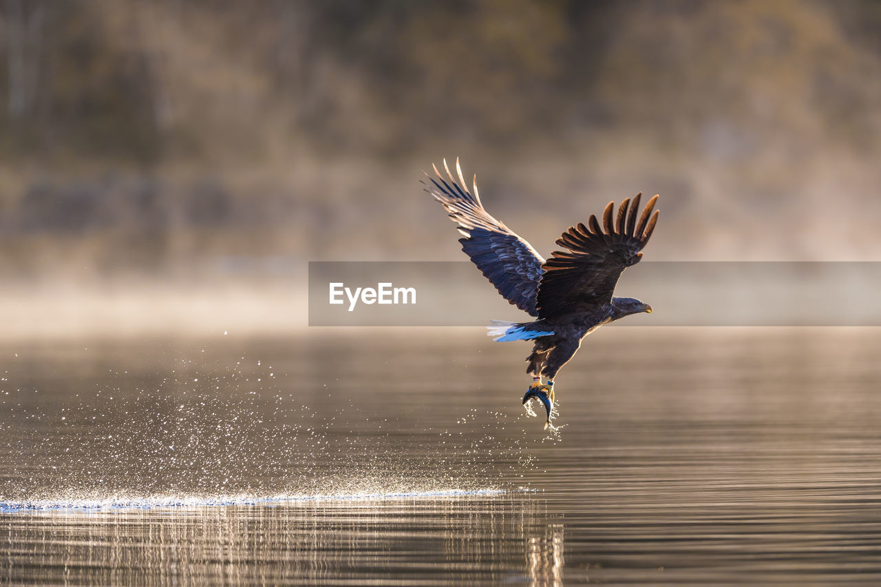 one animal, bird, flying, animal themes, spread wings, water, animals in the wild, animal, vertebrate, animal wildlife, motion, waterfront, mid-air, no people, focus on foreground, day, lake, nature, beauty in nature, eagle