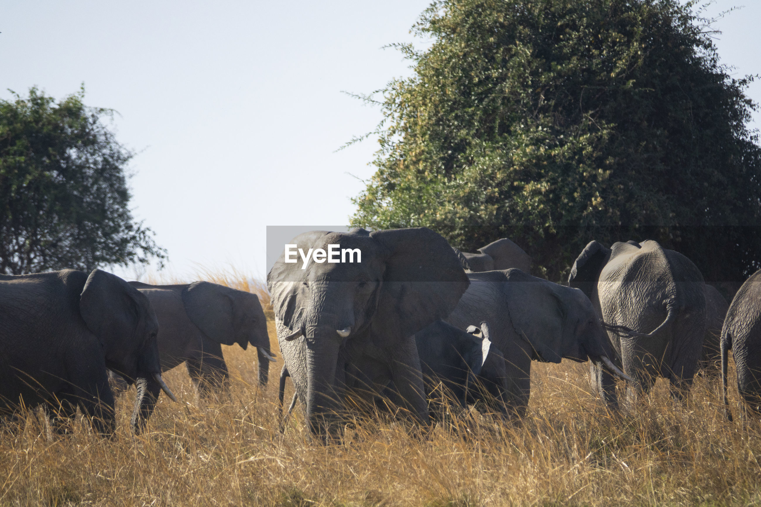 Elephants in a field