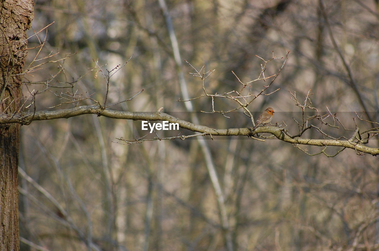 tree, plant, branch, bare tree, nature, focus on foreground, no people, day, beauty in nature, close-up, tranquility, twig, outdoors, dry, selective focus, dead plant, bird, perching, winter, vertebrate