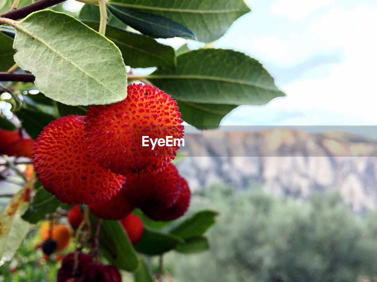 fruit, red, leaf, food and drink, growth, food, healthy eating, freshness, day, ripe, plant, no people, outdoors, close-up, tree, nature, agriculture, beauty in nature