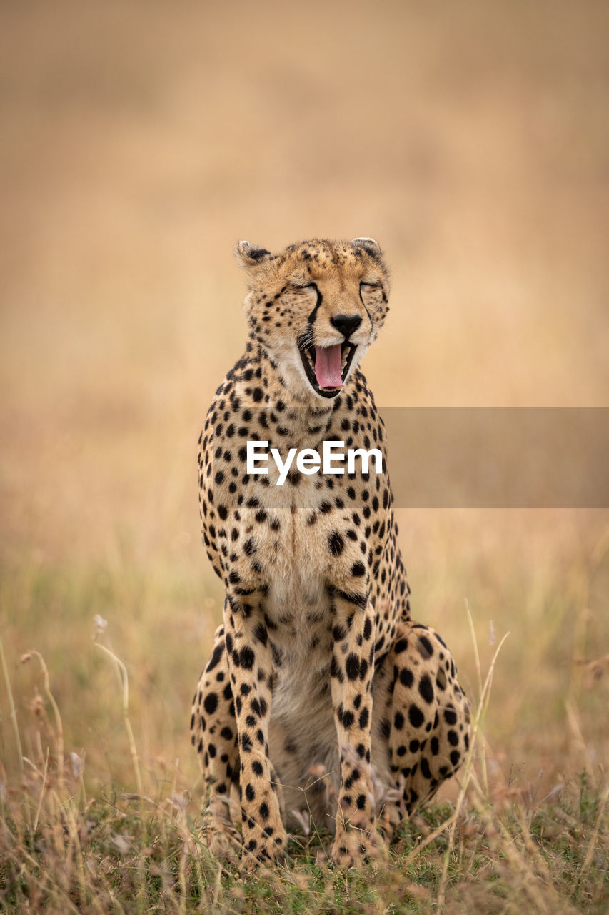 animal wildlife, animals in the wild, feline, animal, animal themes, big cat, one animal, cat, mammal, vertebrate, no people, nature, land, field, safari, day, focus on foreground, cheetah, carnivora, undomesticated cat, mouth open