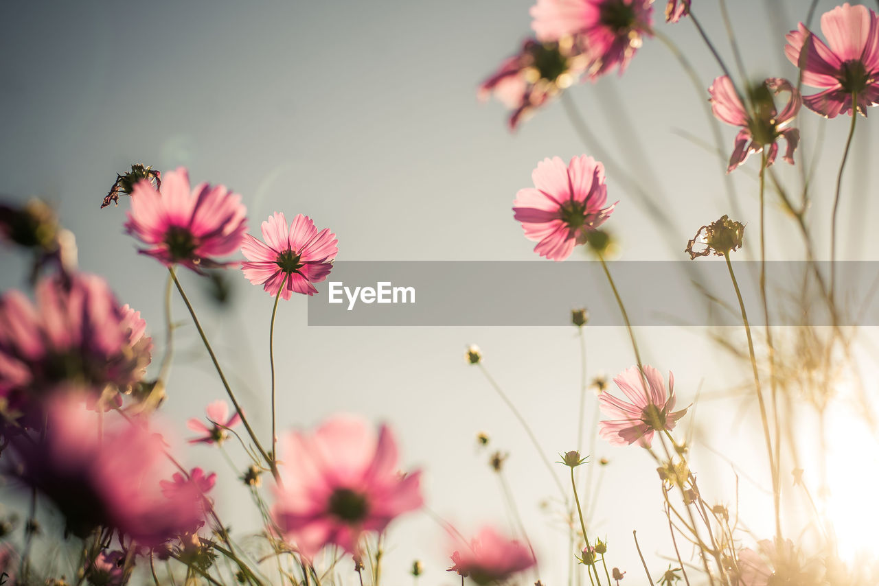 flower, flowering plant, plant, growth, vulnerability, fragility, freshness, beauty in nature, pink color, petal, close-up, selective focus, flower head, nature, no people, day, inflorescence, outdoors, plant stem, cosmos flower