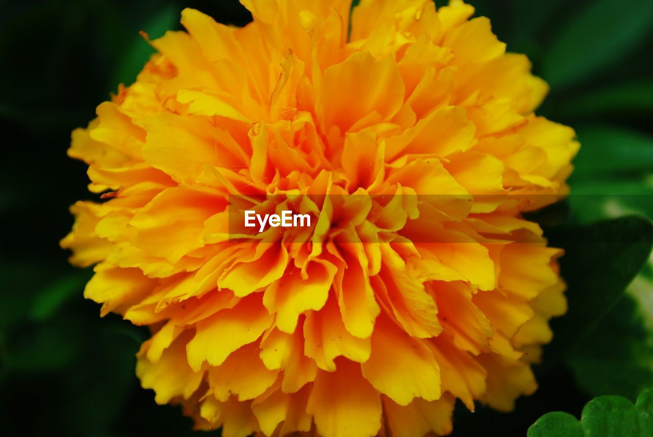 flower, flowering plant, flower head, inflorescence, petal, close-up, beauty in nature, freshness, plant, fragility, vulnerability, orange color, yellow, focus on foreground, growth, marigold, nature, day, no people, orange