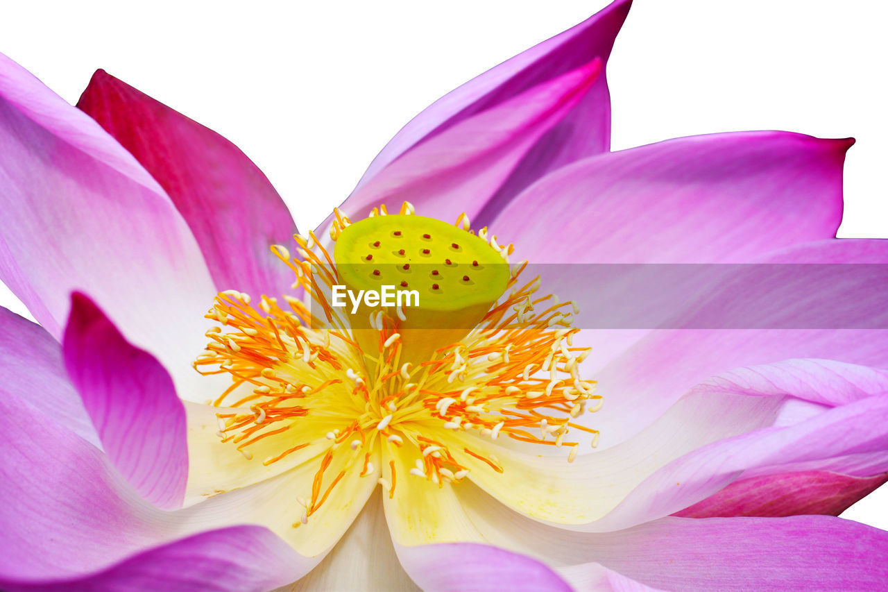 flowering plant, flower, petal, vulnerability, fragility, beauty in nature, inflorescence, freshness, flower head, plant, close-up, growth, pollen, nature, yellow, no people, pink color, lily, purple, lotus water lily, iris - plant