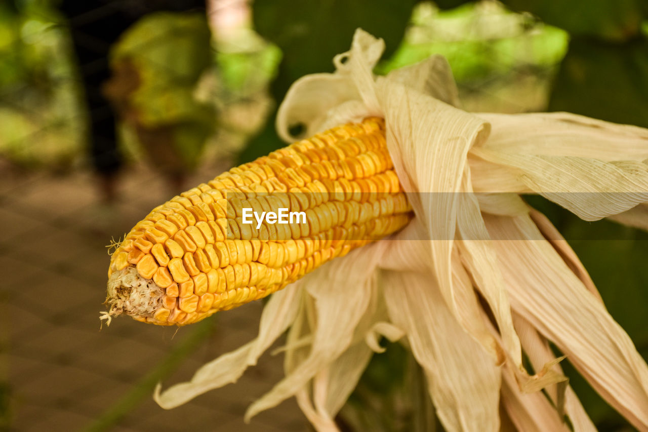 corn, close-up, yellow, day, focus on foreground, corn on the cob, plant, nature, food, vegetable, freshness, no people, sweetcorn, growth, food and drink, outdoors, fragility, vulnerability, beauty in nature, field