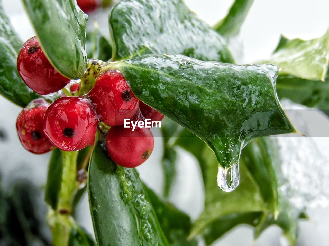 red, green color, close-up, growth, leaf, plant part, plant, food and drink, freshness, food, fruit, focus on foreground, nature, beauty in nature, no people, healthy eating, day, wellbeing, water, ripe