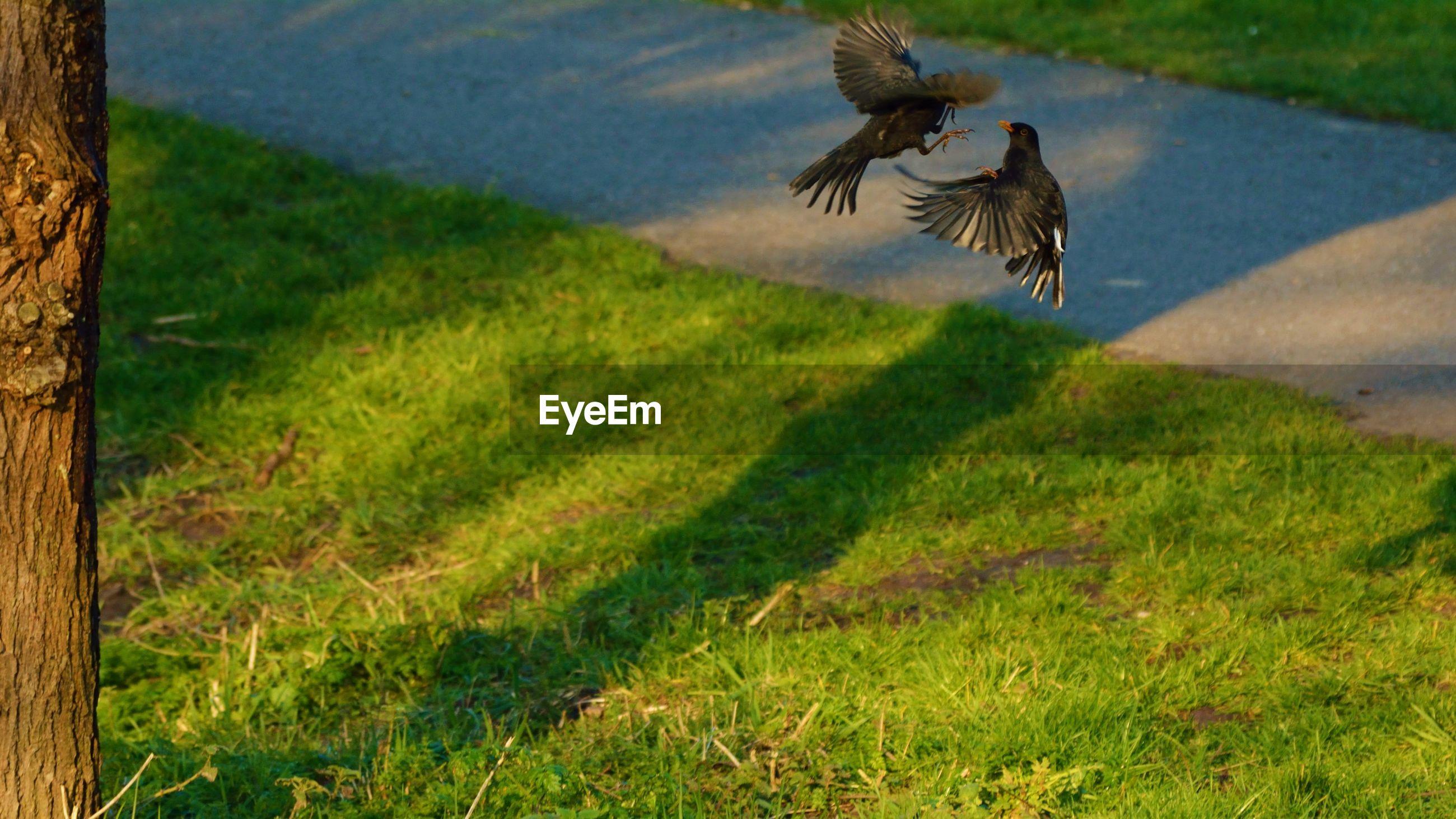Birds fighting in park