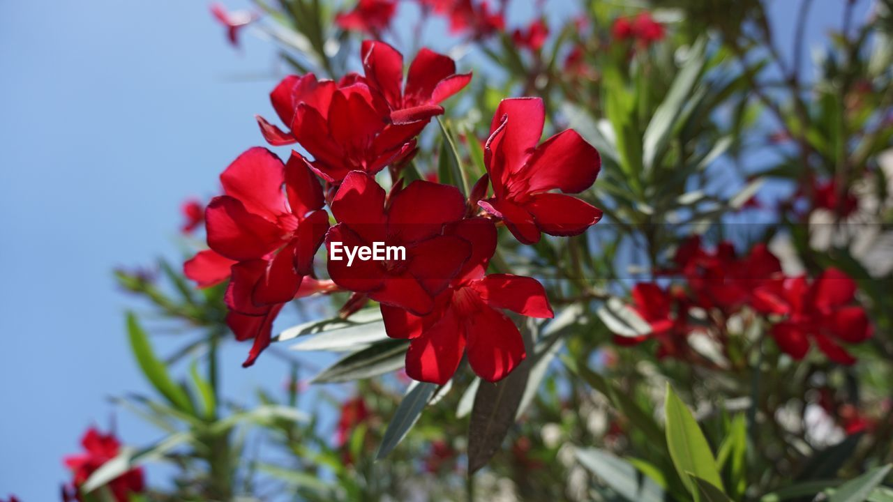 flower, plant, flowering plant, beauty in nature, red, fragility, vulnerability, growth, petal, close-up, freshness, inflorescence, flower head, nature, focus on foreground, no people, day, selective focus, outdoors, blossom
