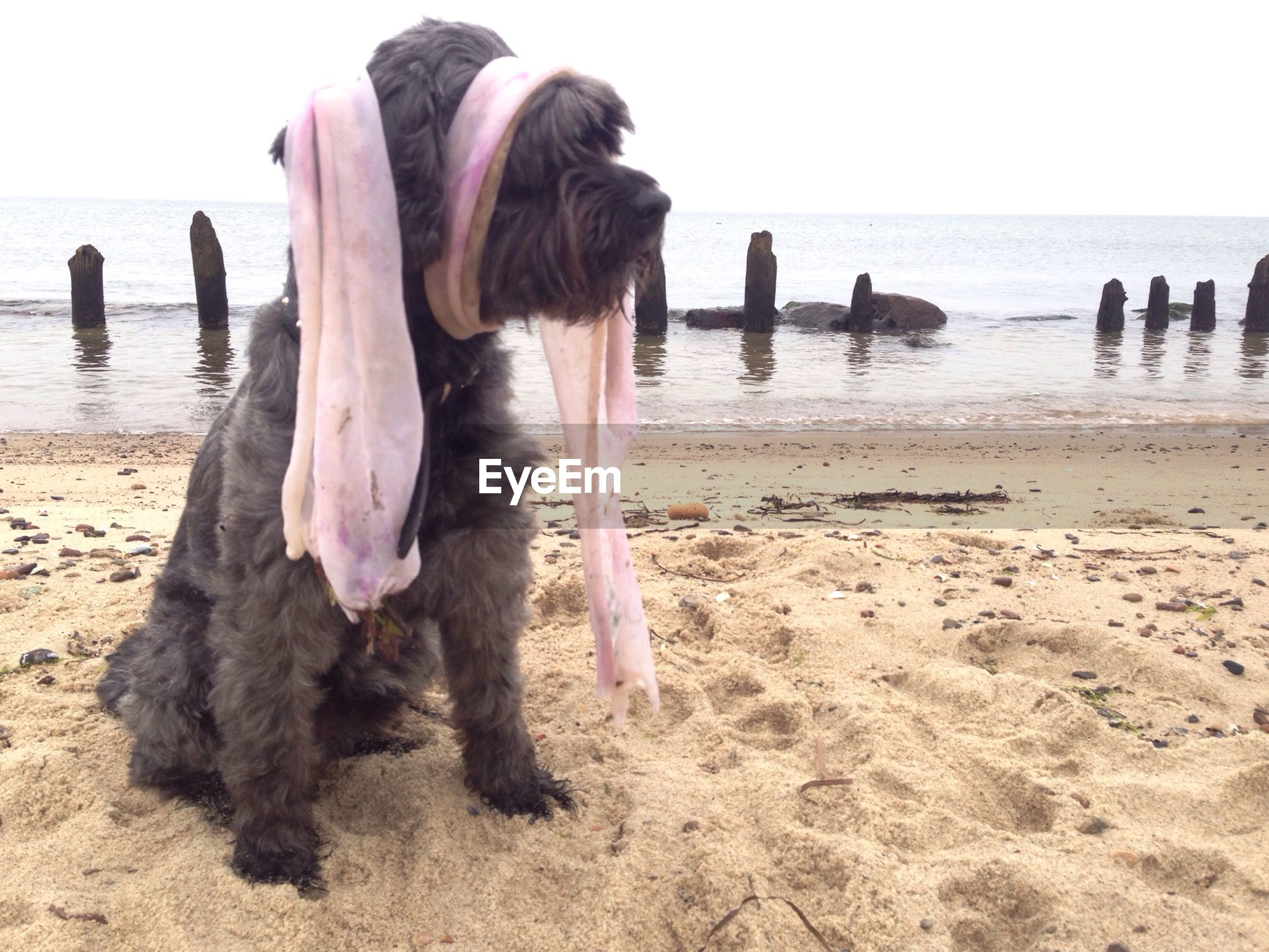 Black dog with dirty fabric at beach