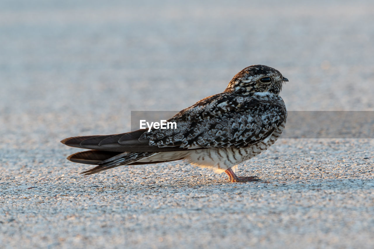 animal, bird, animal themes, vertebrate, one animal, animals in the wild, animal wildlife, no people, selective focus, day, close-up, street, black color, perching, road, nature, outdoors, focus on foreground, city, full length
