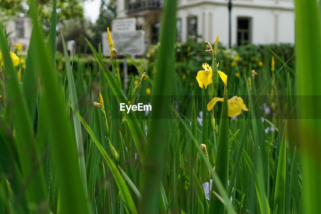 yellow, flower, growth, grass, plant, nature, green color, field, outdoors, daffodil, building exterior, day, no people, architecture, beauty in nature, fragility, built structure, freshness, blooming, flower head, close-up