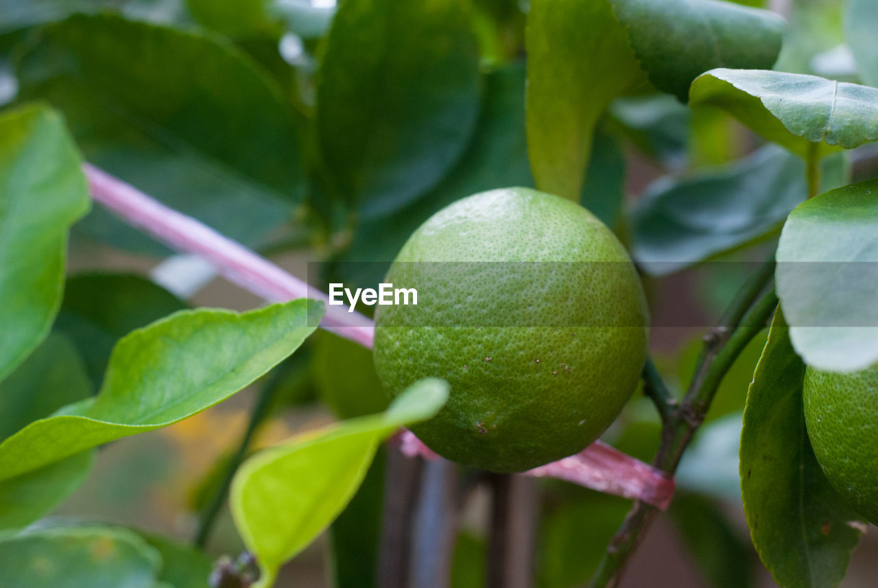 fruit, healthy eating, food and drink, food, growth, green color, leaf, freshness, plant part, close-up, plant, wellbeing, no people, nature, fruit tree, focus on foreground, day, tree, citrus fruit, beauty in nature, outdoors, ripe