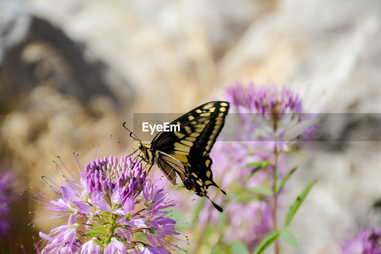 flower, flowering plant, vulnerability, beauty in nature, insect, invertebrate, fragility, animal wildlife, one animal, animal, animals in the wild, animal themes, plant, freshness, animal wing, petal, flower head, close-up, butterfly - insect, purple, no people, pollination, outdoors, butterfly