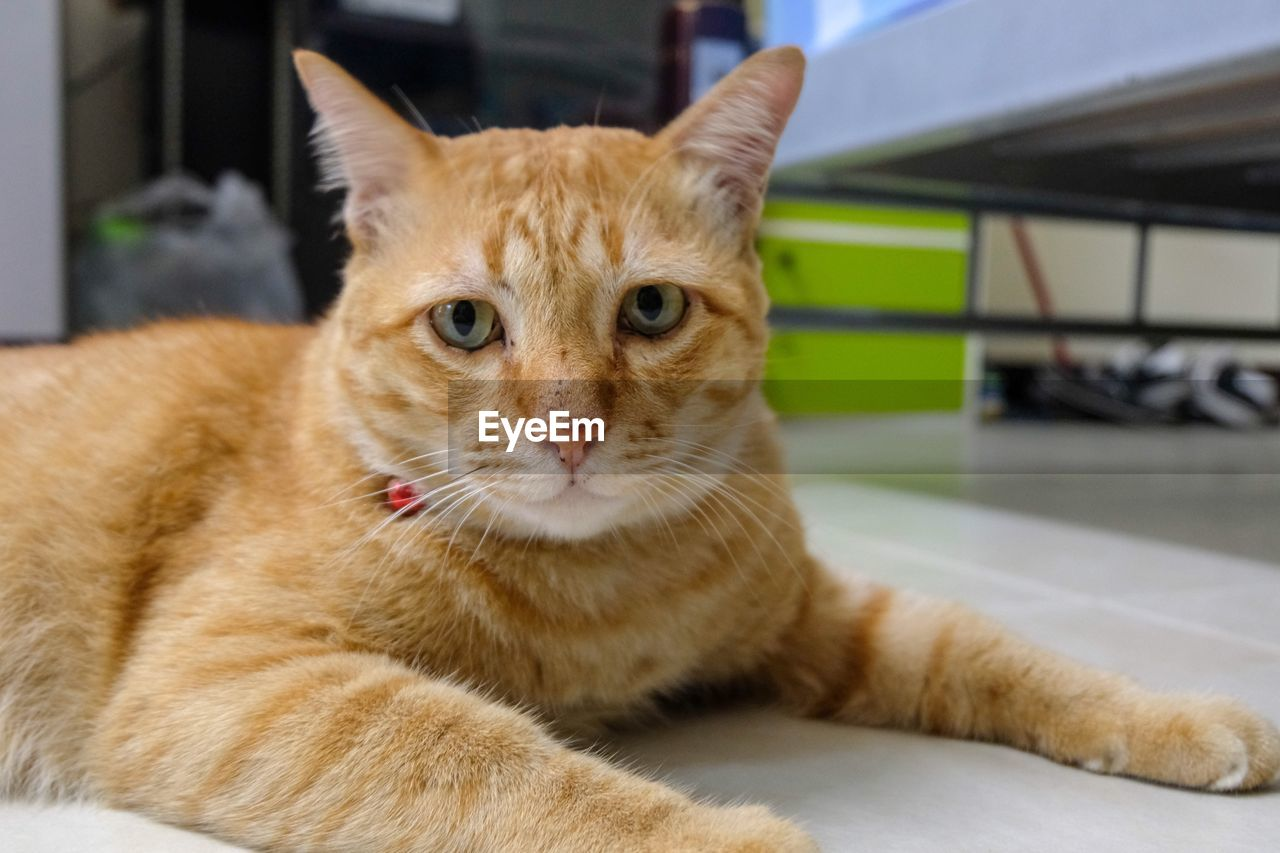 cat, domestic cat, mammal, animal themes, feline, animal, pets, domestic animals, domestic, one animal, vertebrate, portrait, looking at camera, focus on foreground, close-up, no people, relaxation, home interior, whisker, indoors, ginger cat, animal head, tabby