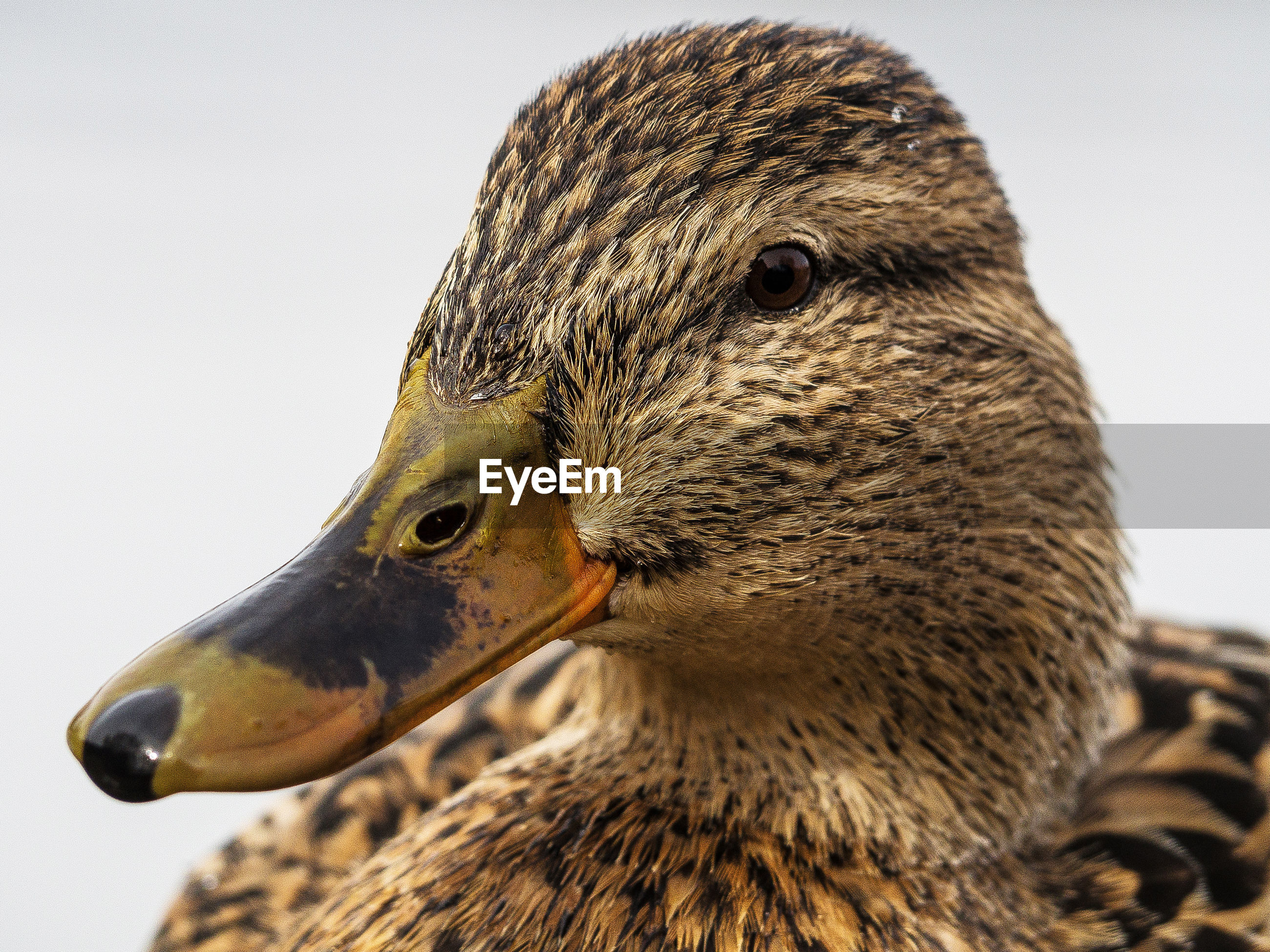 Close-up portrait of a mallard
