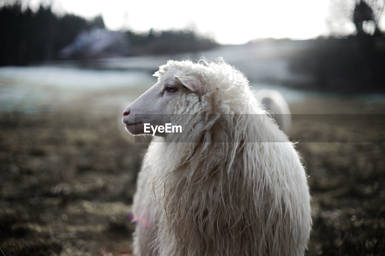 animal, animal themes, pets, one animal, mammal, domestic animals, domestic, vertebrate, focus on foreground, white color, day, animal hair, canine, livestock, looking away, no people, dog, nature, looking, close-up, animal head