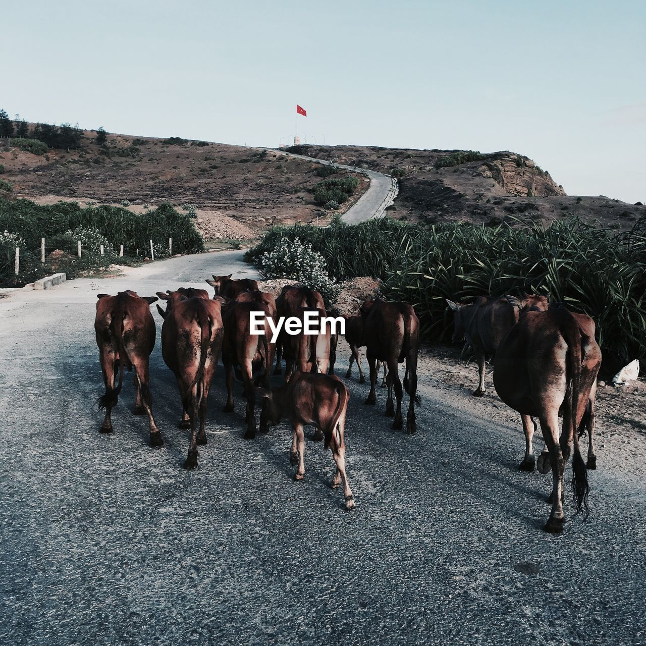 Herd Of Cows Walking On Country Road