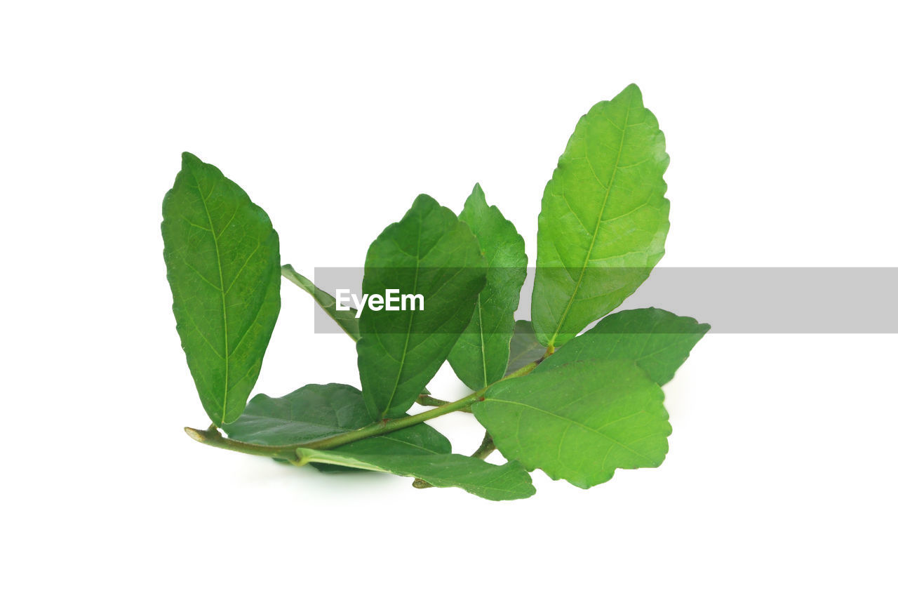 leaf, plant part, studio shot, green color, white background, nature, cut out, close-up, plant, freshness, indoors, leaves, no people, herb, food and drink, copy space, still life, food, beauty in nature, herbal medicine, mint leaf - culinary