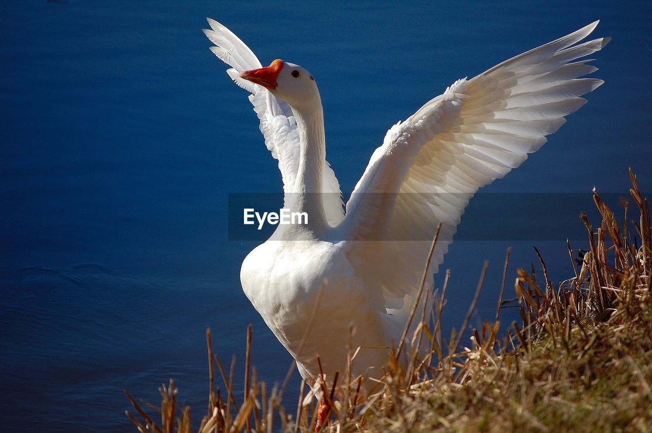 animal themes, vertebrate, animal, animals in the wild, animal wildlife, bird, flying, one animal, white color, spread wings, nature, no people, day, sky, water, zoology, close-up, outdoors, beauty in nature, white, flapping, seagull
