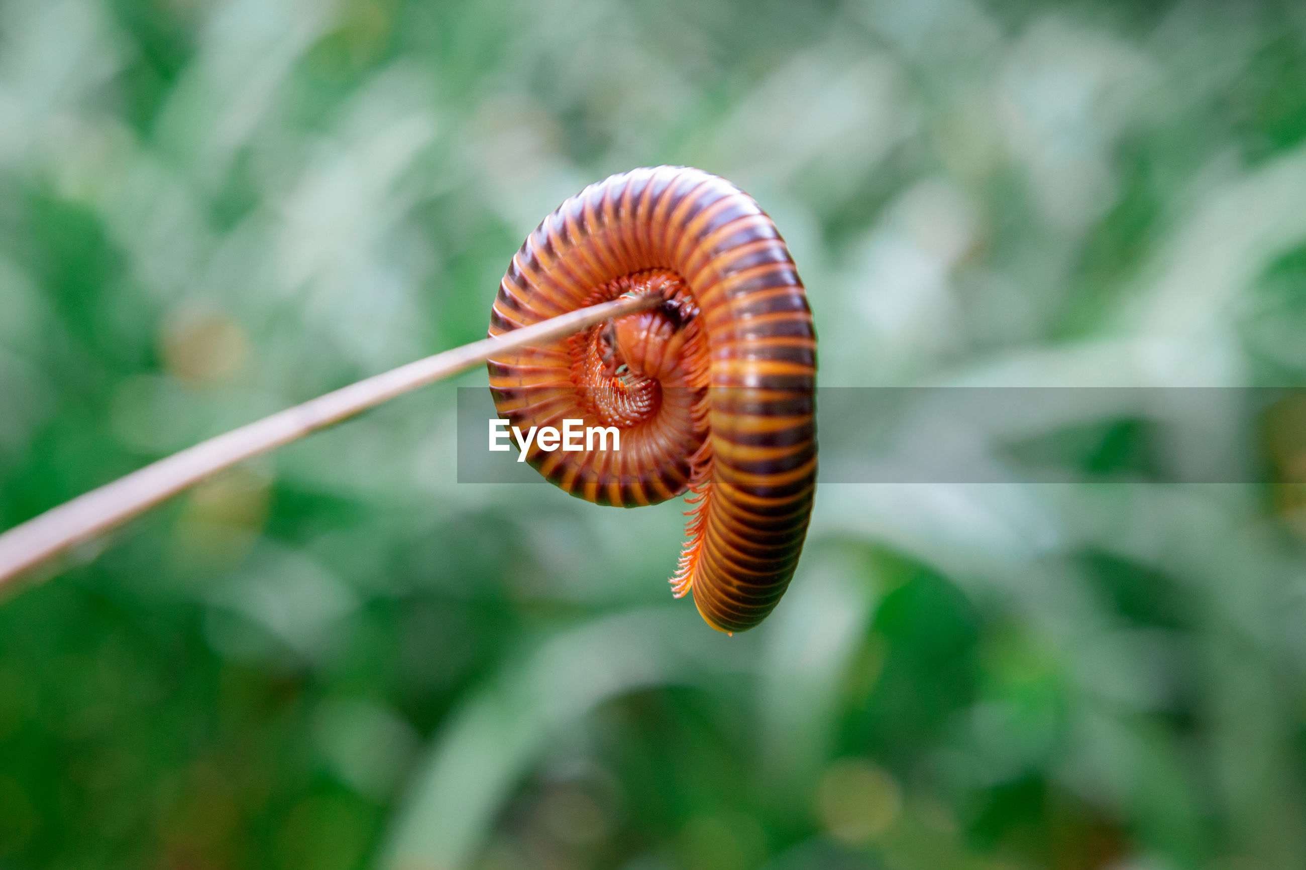 Close-up millipede rolling on wood srick and green leaf background