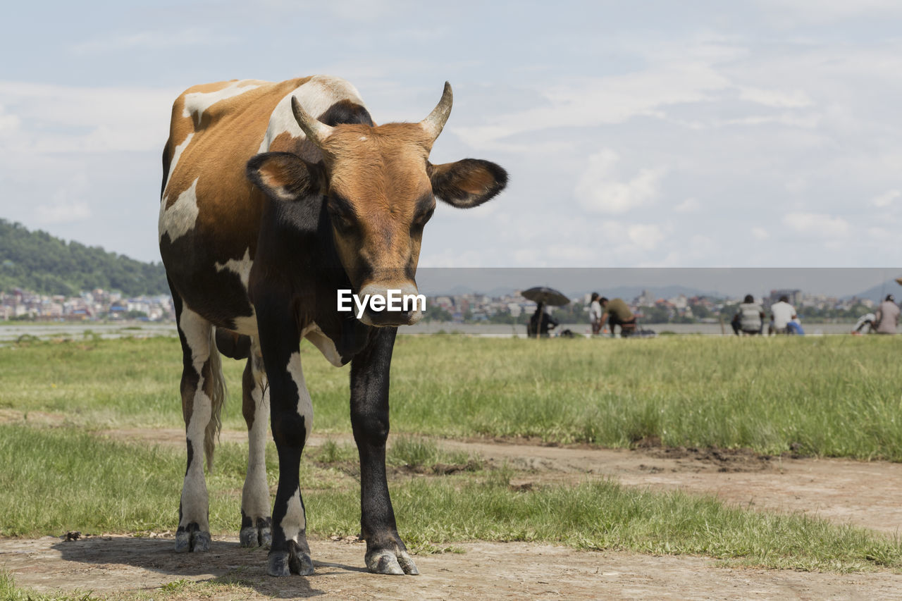 animal, animal themes, mammal, field, vertebrate, land, standing, domestic animals, livestock, grass, domestic, pets, looking at camera, no people, day, nature, sky, group of animals, cow, environment, outdoors, herbivorous