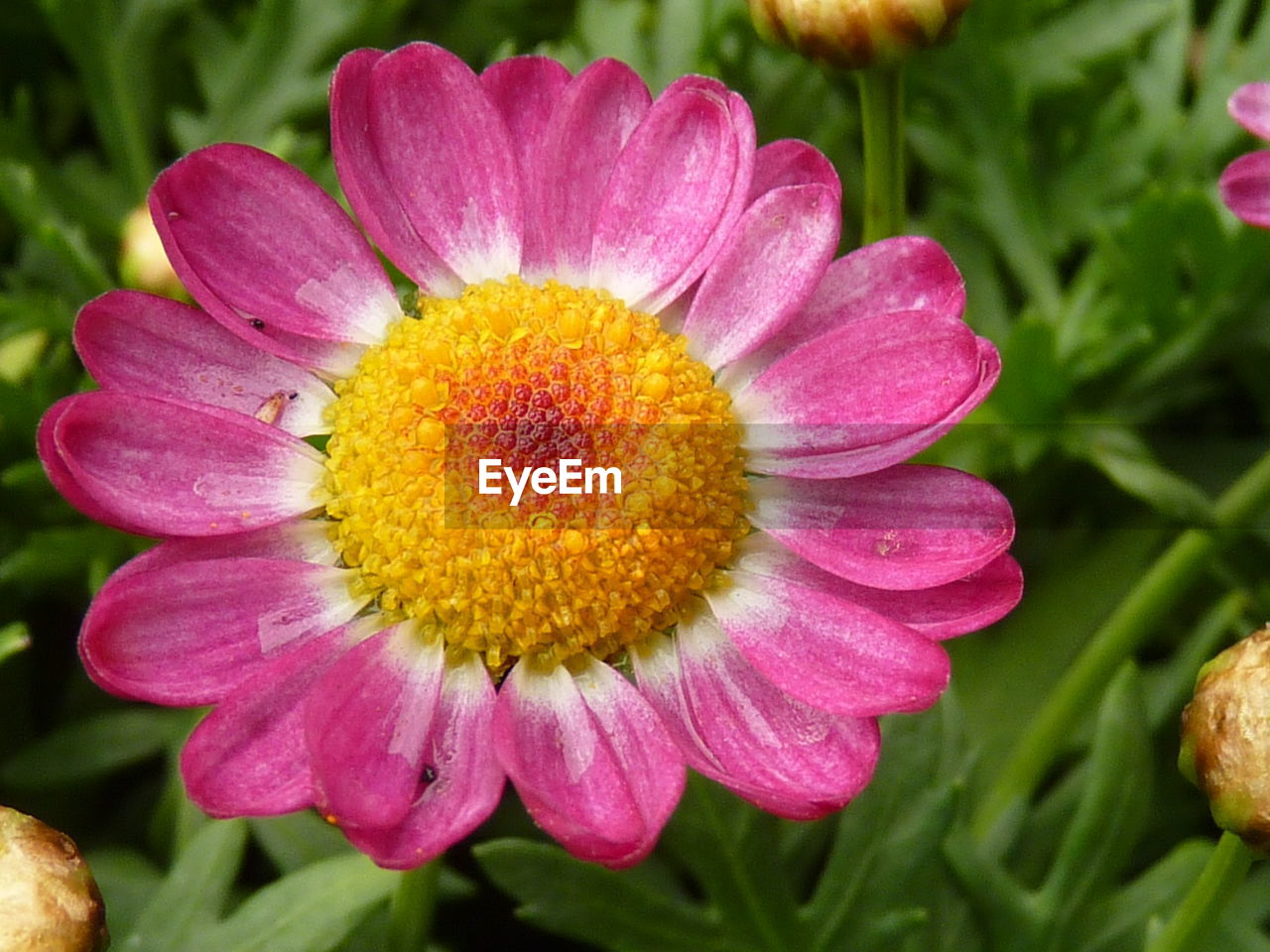 flower, petal, beauty in nature, nature, fragility, growth, freshness, flower head, plant, no people, close-up, pink color, outdoors, blooming, yellow, day