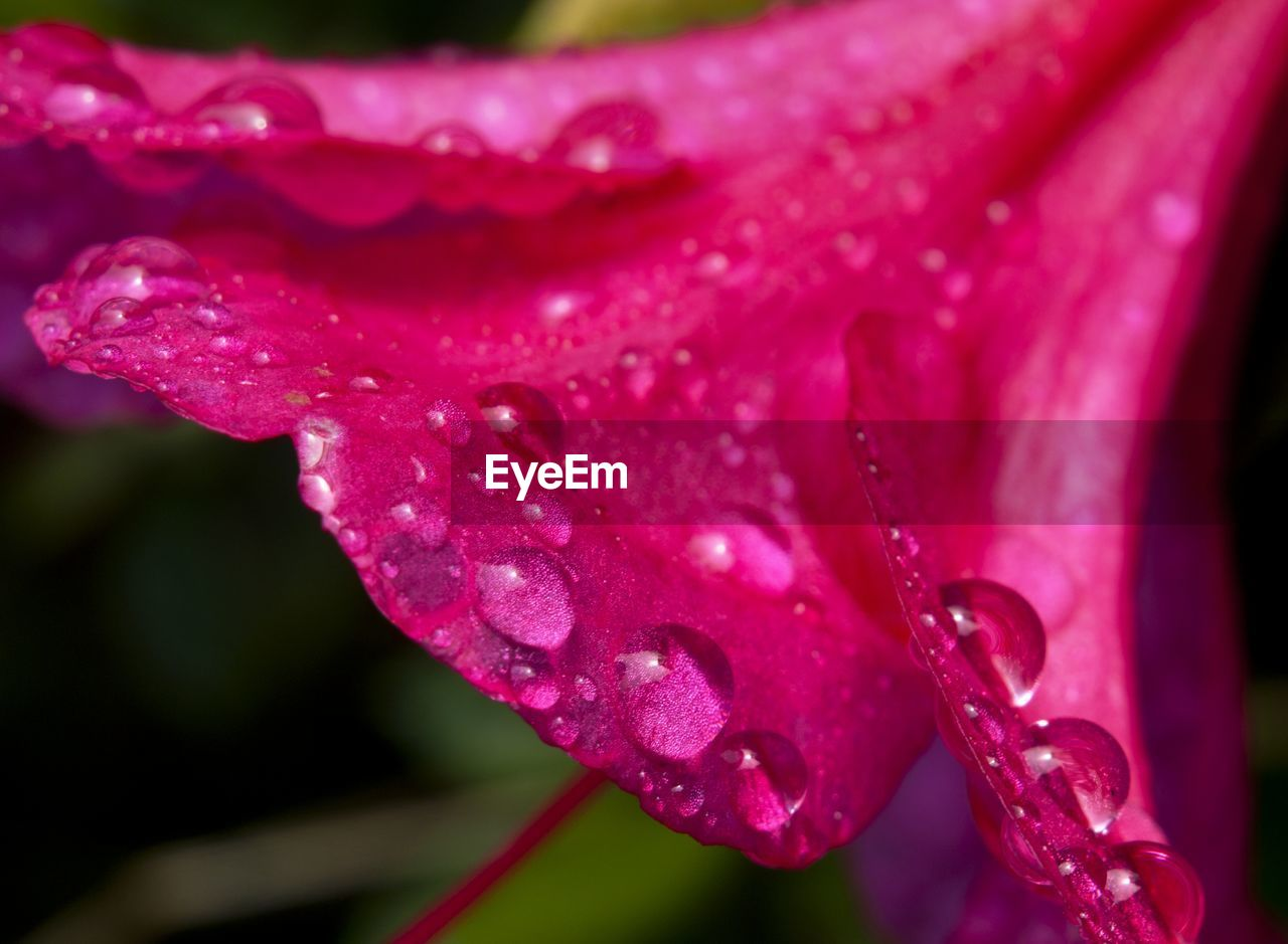 drop, wet, water, nature, beauty in nature, flower, petal, freshness, fragility, growth, raindrop, close-up, pink color, flower head, outdoors, plant, day, purity, no people, blooming
