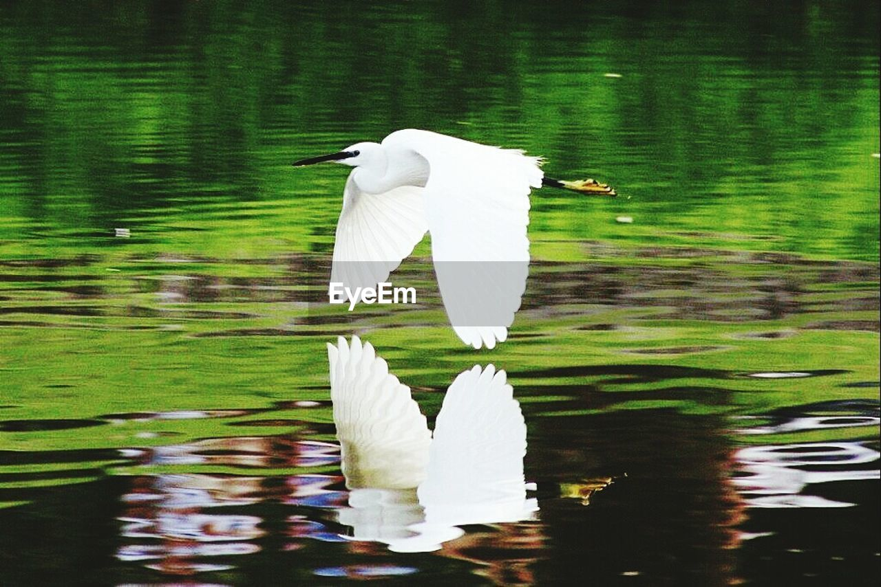 water, animal themes, white color, lake, animals in the wild, bird, waterfront, great egret, one animal, nature, reflection, day, animal wildlife, beauty in nature, egret, no people, flying, outdoors, spread wings