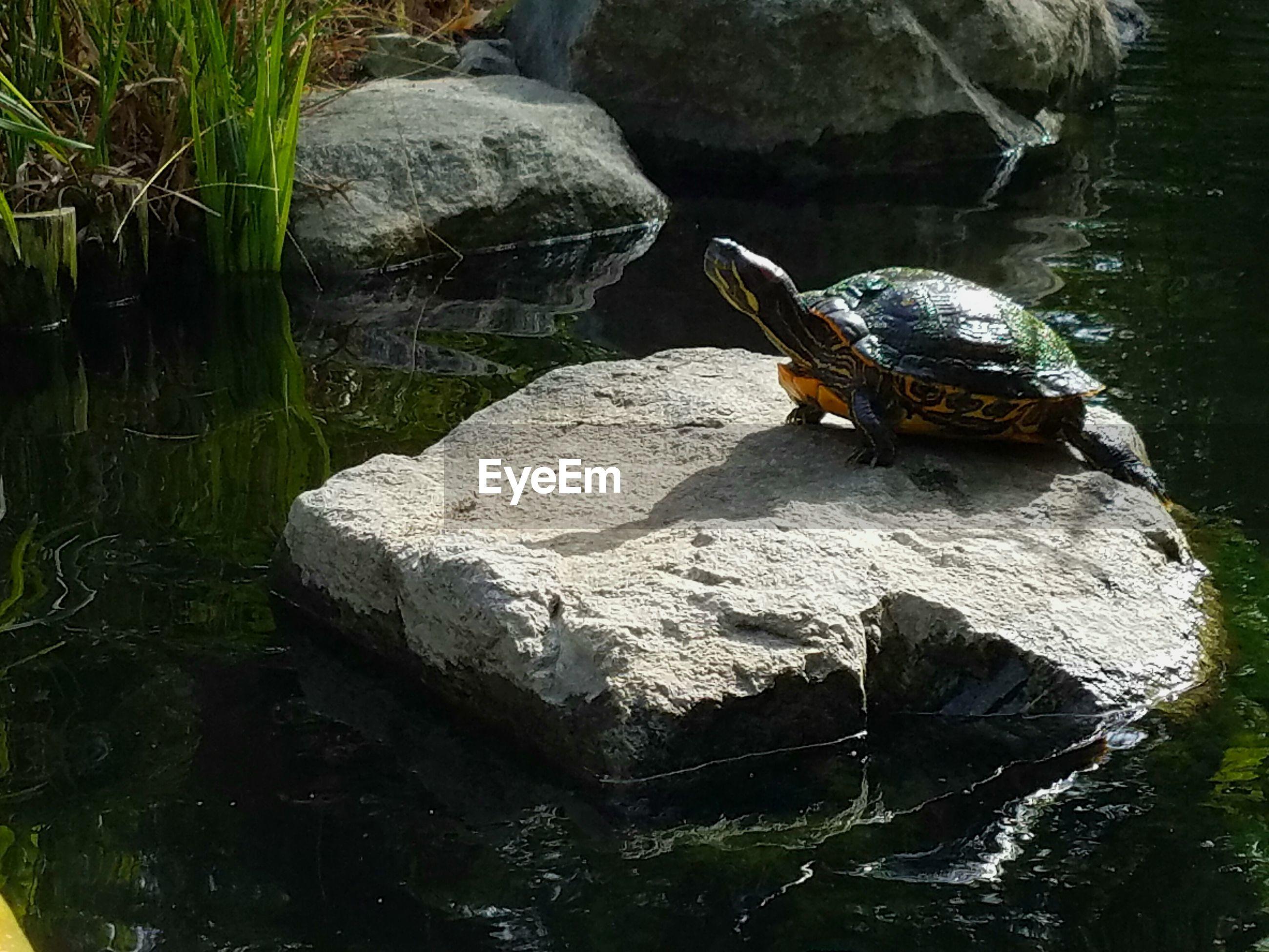 Turtle Swimming In Lake
