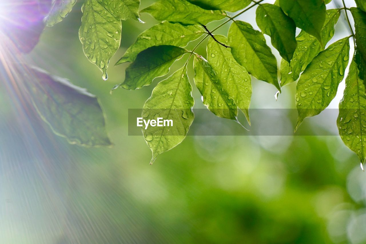 leaf, plant part, plant, close-up, green color, growth, beauty in nature, nature, no people, day, focus on foreground, selective focus, freshness, outdoors, water, sunlight, tranquility, tree, food and drink, leaves