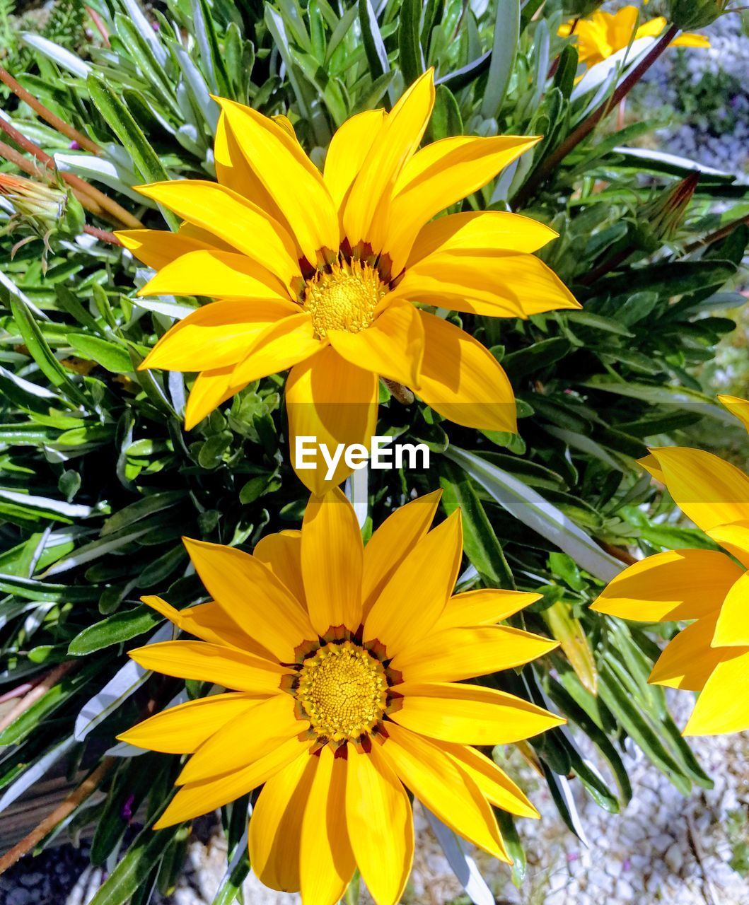 yellow, flowering plant, flower, plant, fragility, freshness, petal, vulnerability, beauty in nature, growth, flower head, inflorescence, close-up, nature, day, pollen, outdoors, no people, leaf, park, gazania