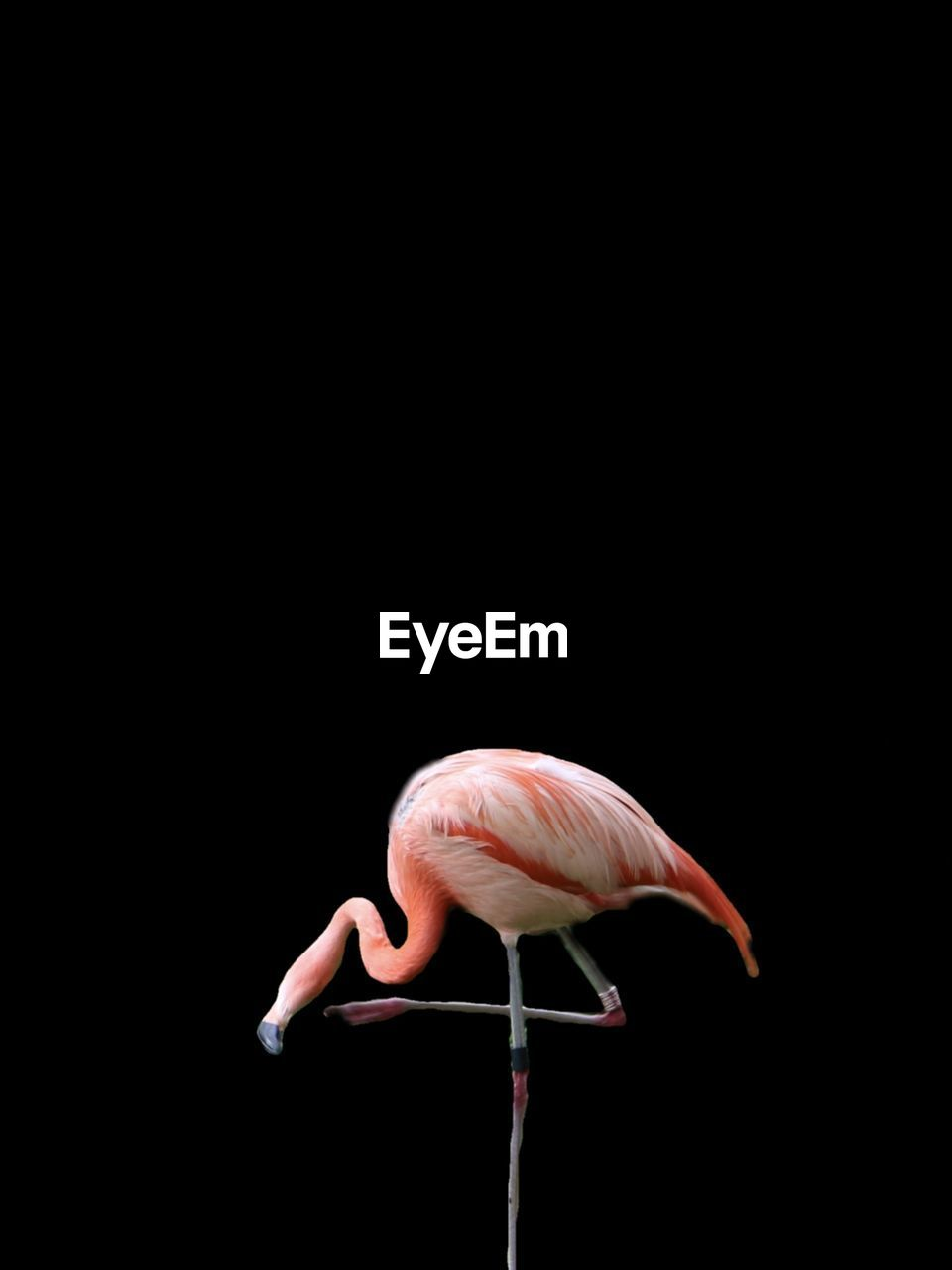 Side View Of Flamingo Perching Against Black Background