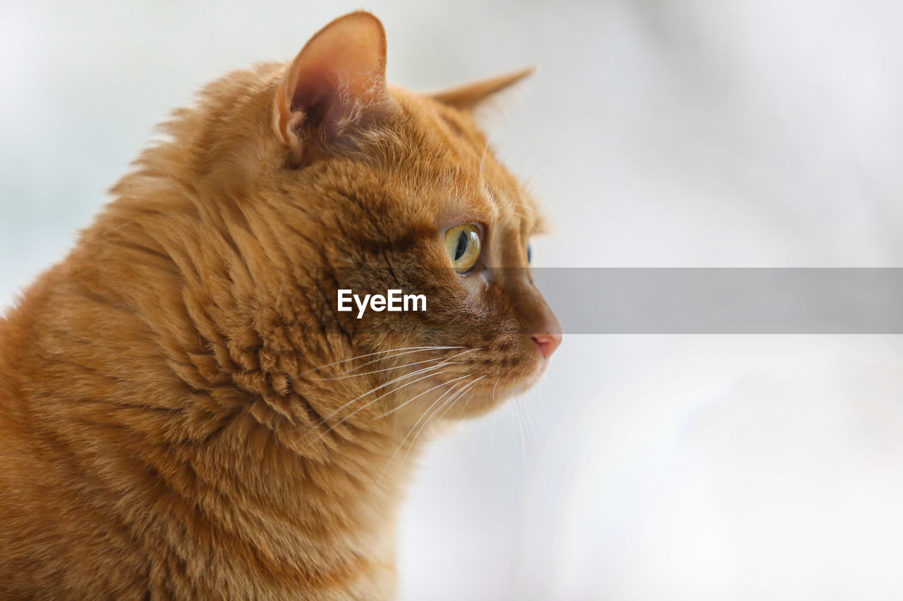 one animal, animal themes, pets, animal, domestic, mammal, domestic animals, domestic cat, feline, cat, close-up, vertebrate, looking, focus on foreground, looking away, no people, whisker, brown, side view, animal body part, animal head, ginger cat, profile view