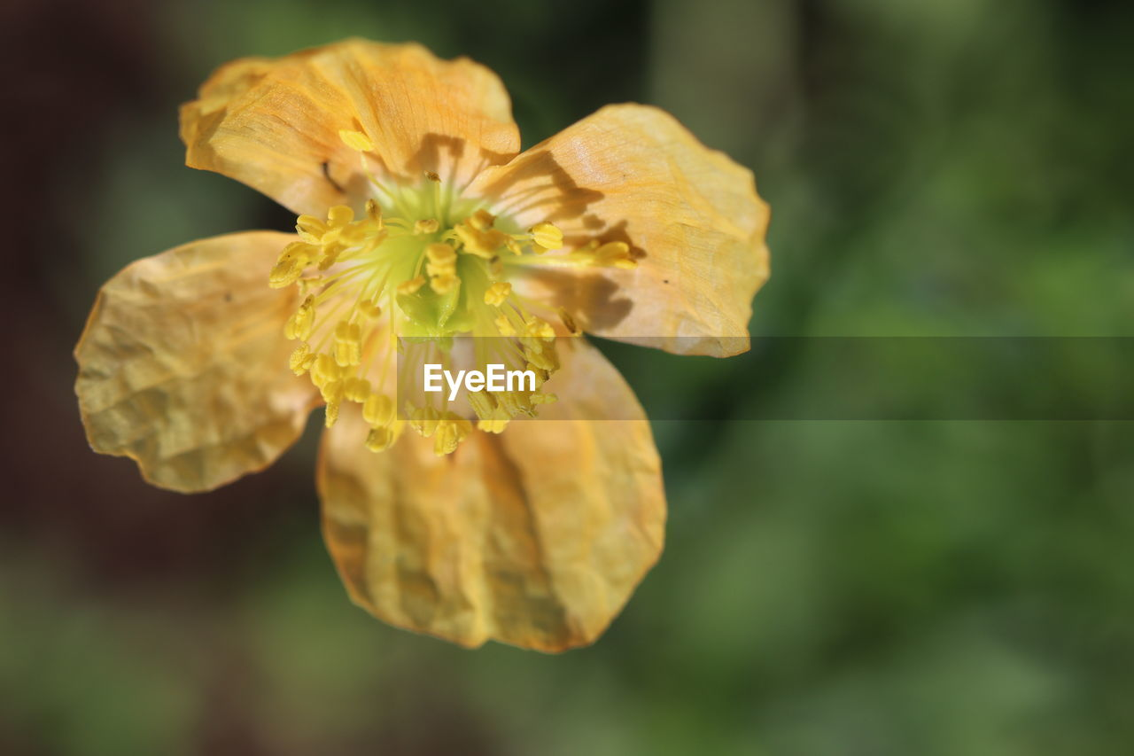 flowering plant, flower, vulnerability, fragility, beauty in nature, plant, petal, freshness, yellow, close-up, inflorescence, flower head, growth, focus on foreground, selective focus, nature, no people, pollen, day, outdoors