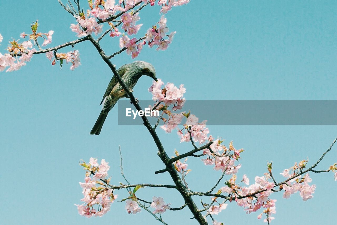 Low angle view of bird perching on flowering tree against clear sky