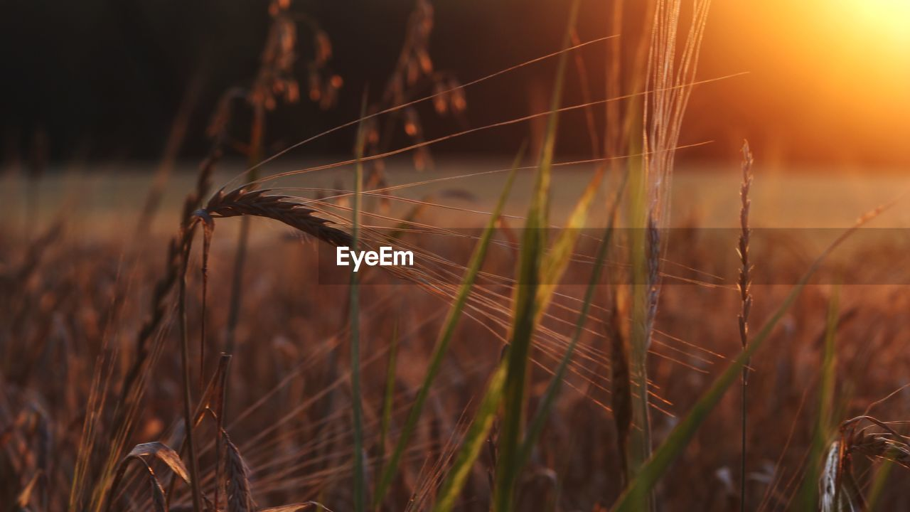 plant, field, nature, growth, land, close-up, beauty in nature, fragility, selective focus, no people, sunlight, crop, grass, agriculture, vulnerability, day, focus on foreground, sunset, cereal plant, tranquility, outdoors, lens flare, lightweight, softness, stalk