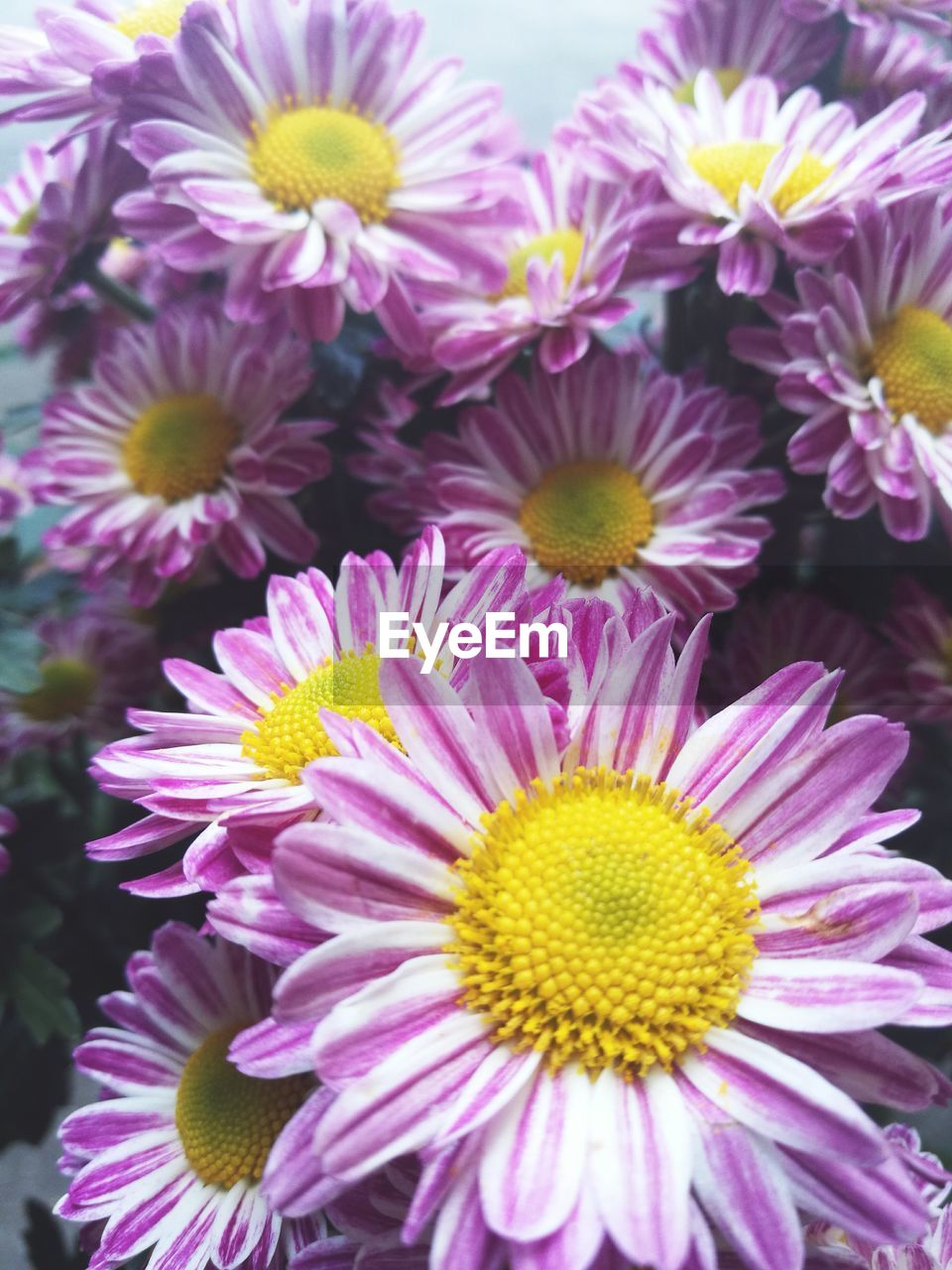 flower, petal, fragility, beauty in nature, purple, nature, growth, freshness, no people, flower head, close-up, plant, outdoors, blooming, day