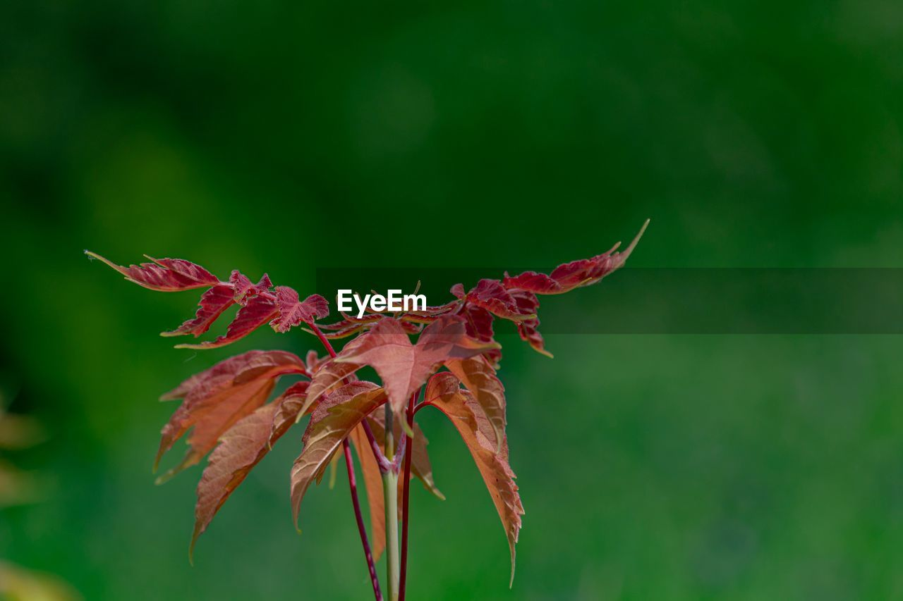 plant, beauty in nature, vulnerability, fragility, growth, close-up, plant part, leaf, nature, red, focus on foreground, no people, flower, freshness, flowering plant, day, outdoors, autumn, green color, selective focus, flower head, maple leaf, leaves, natural condition