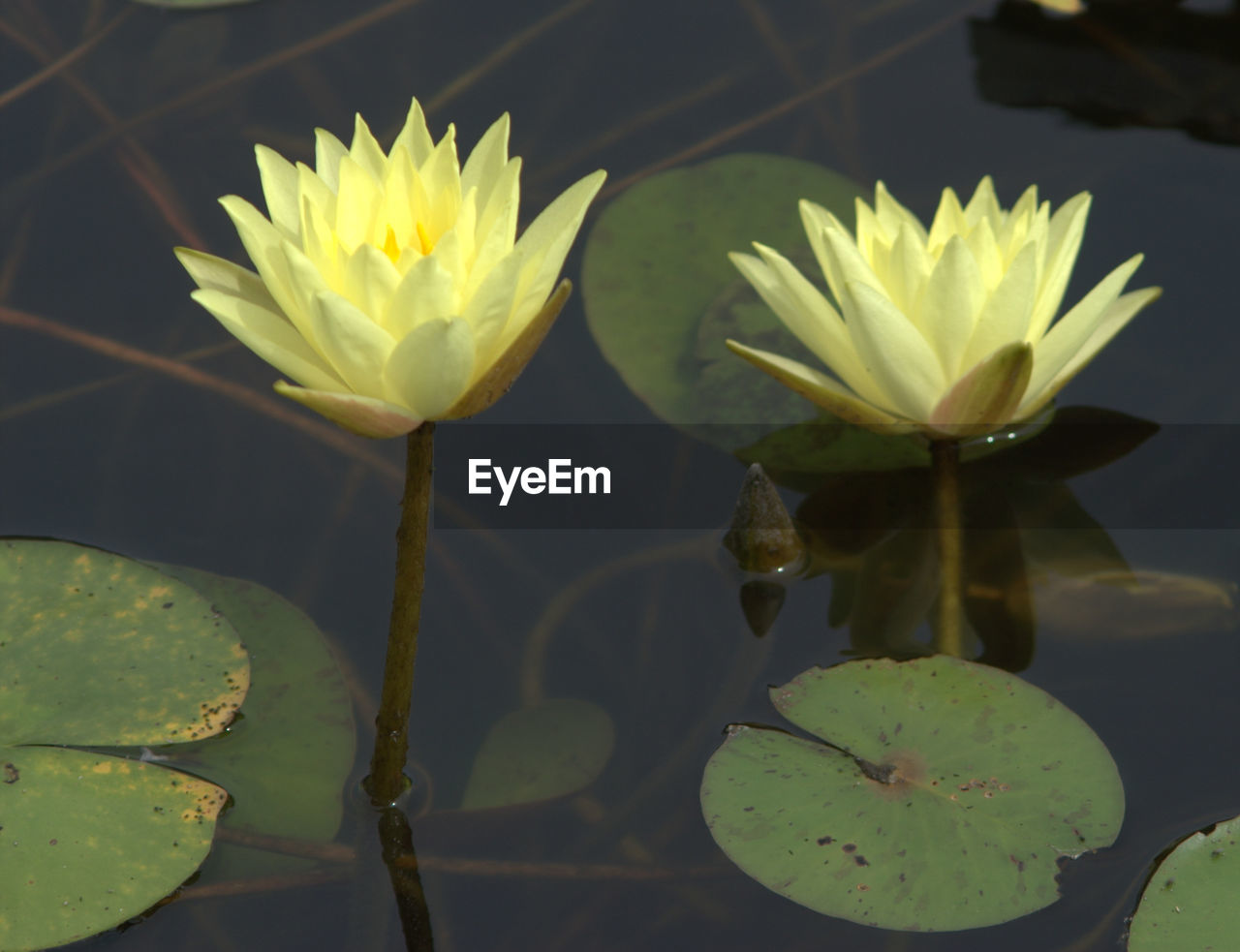 flower, beauty in nature, fragility, nature, water lily, freshness, leaf, growth, petal, water, plant, lotus water lily, floating on water, no people, lily pad, flower head, close-up, yellow, lake, green color, day, outdoors, lotus