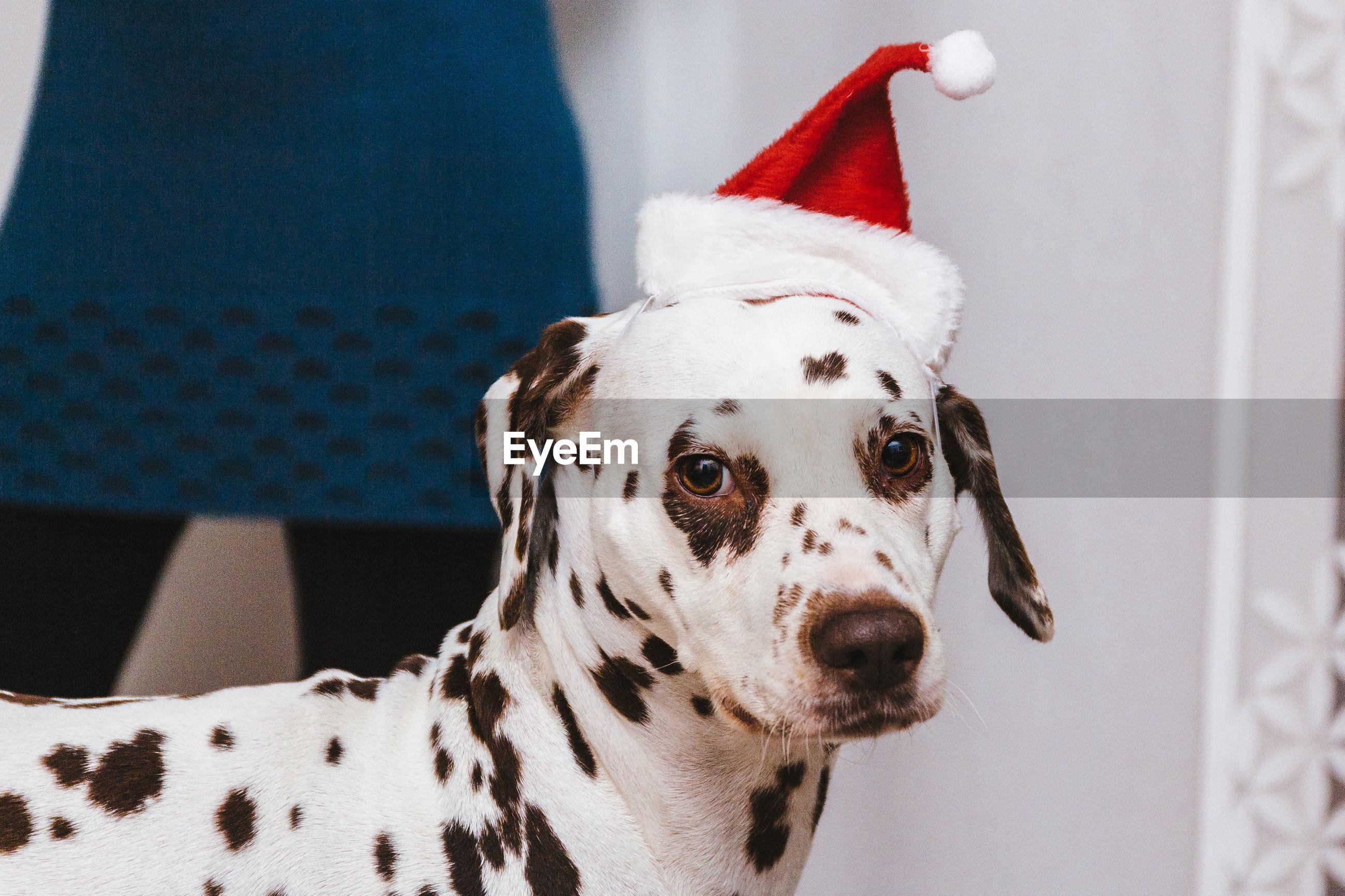 Dalmatian dog wearing santa hat