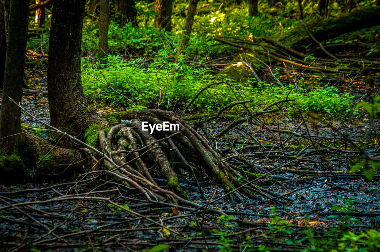 forest, tree, land, plant, woodland, nature, tree trunk, trunk, growth, tranquility, no people, day, root, tranquil scene, green color, non-urban scene, beauty in nature, water, plant part, outdoors, swamp, tangled, rainforest