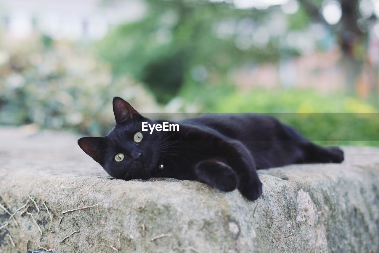 animal themes, mammal, cat, domestic cat, animal, one animal, feline, domestic, pets, domestic animals, vertebrate, black color, looking at camera, no people, portrait, day, focus on foreground, relaxation, whisker, nature, outdoors, animal eye, yellow eyes