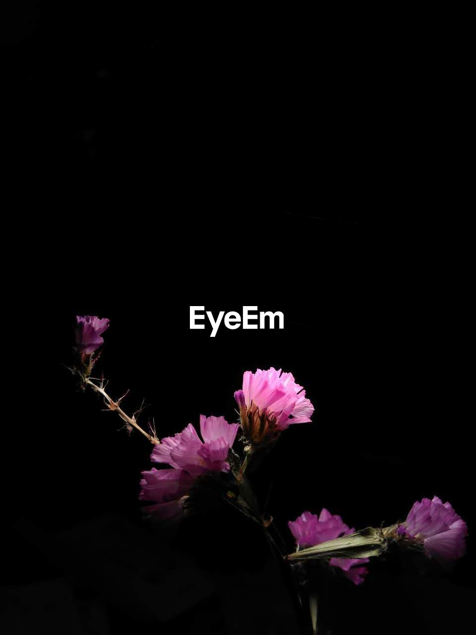 flower, fragility, petal, pink color, freshness, beauty in nature, nature, flower head, growth, no people, botany, purple, close-up, plant, studio shot, springtime, night, blooming, black background, outdoors