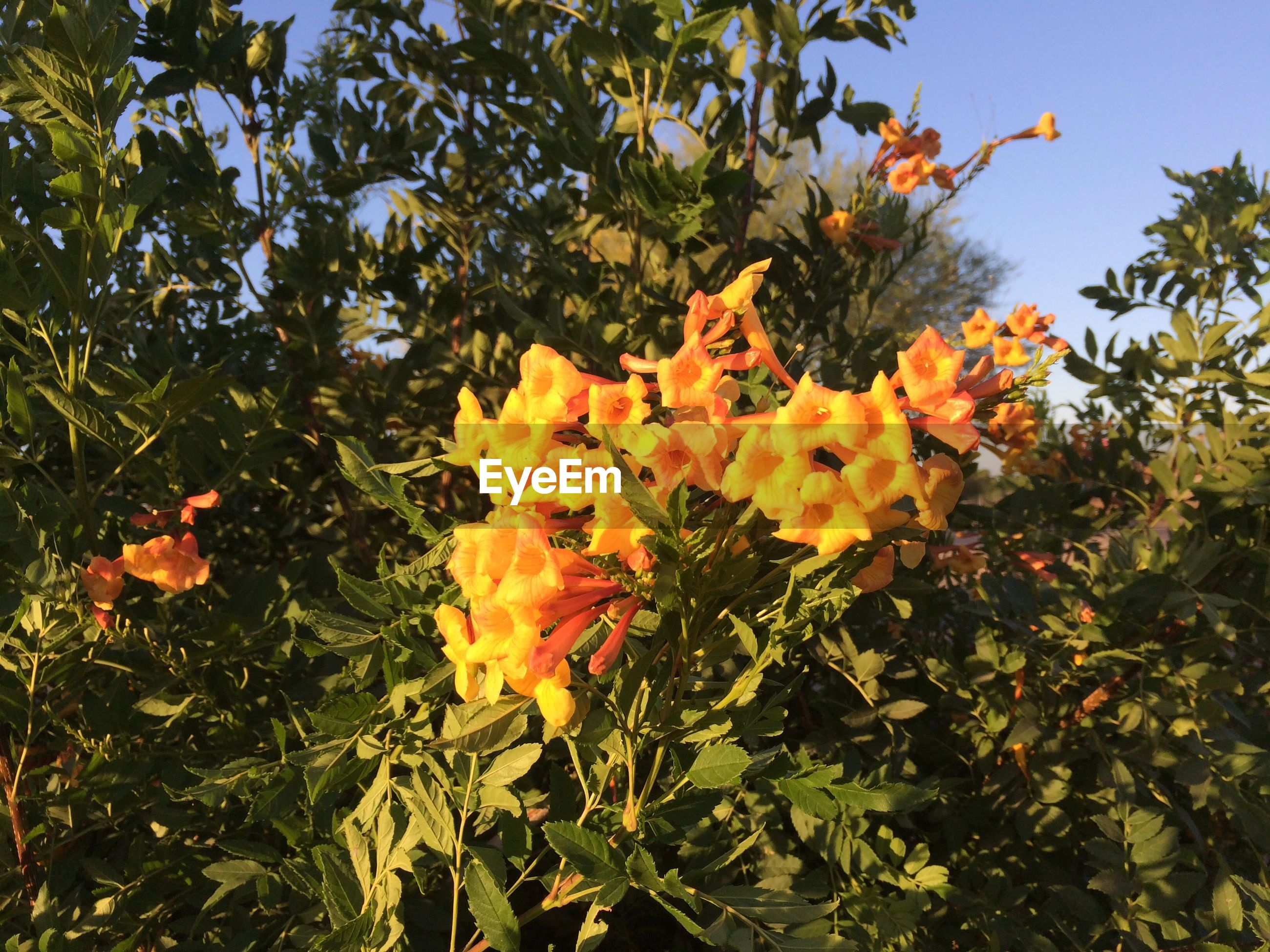 plant, growth, beauty in nature, flower, flowering plant, freshness, leaf, plant part, orange color, vulnerability, fragility, petal, nature, yellow, flower head, close-up, no people, day, tree, inflorescence, outdoors