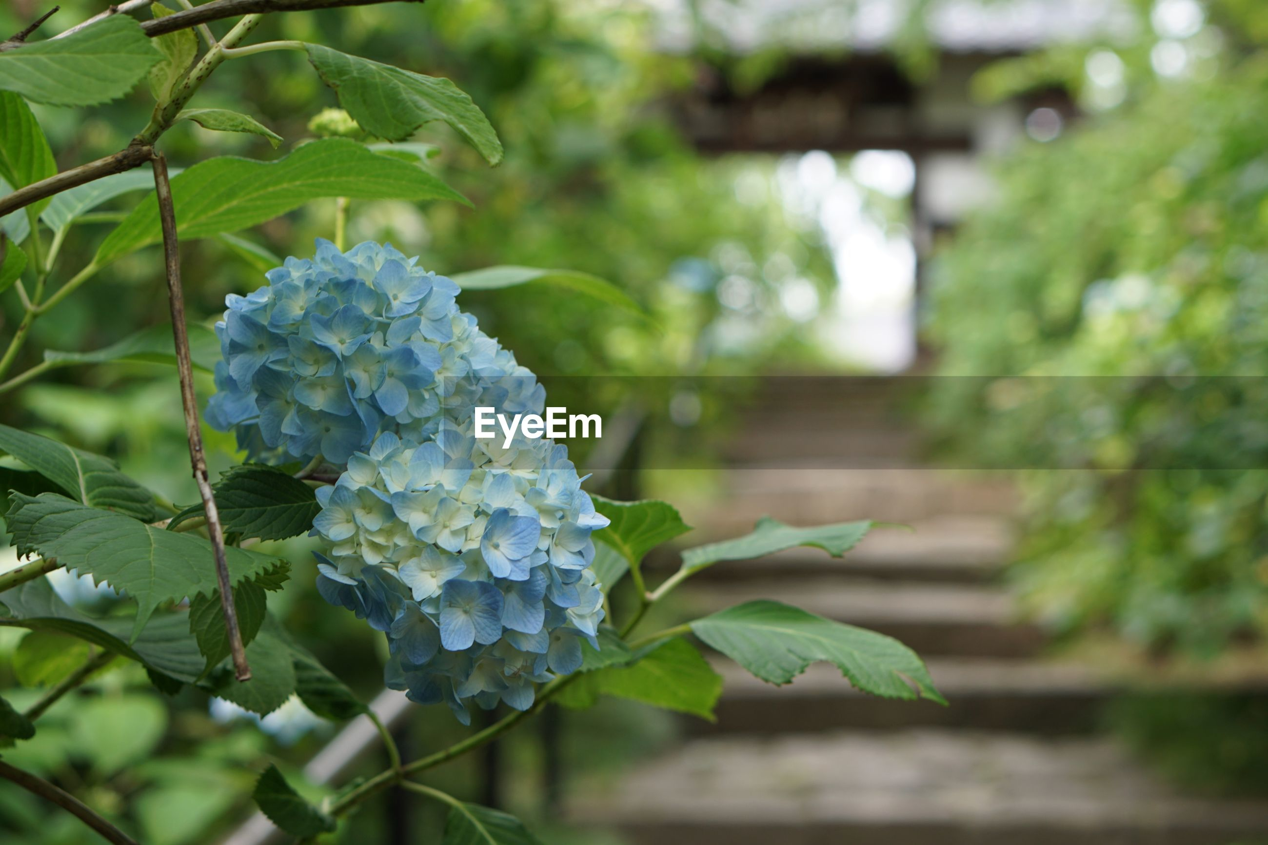 plant, growth, flowering plant, flower, freshness, beauty in nature, leaf, plant part, close-up, focus on foreground, green color, nature, day, vulnerability, hydrangea, fragility, no people, petal, outdoors, inflorescence, flower head, bunch of flowers