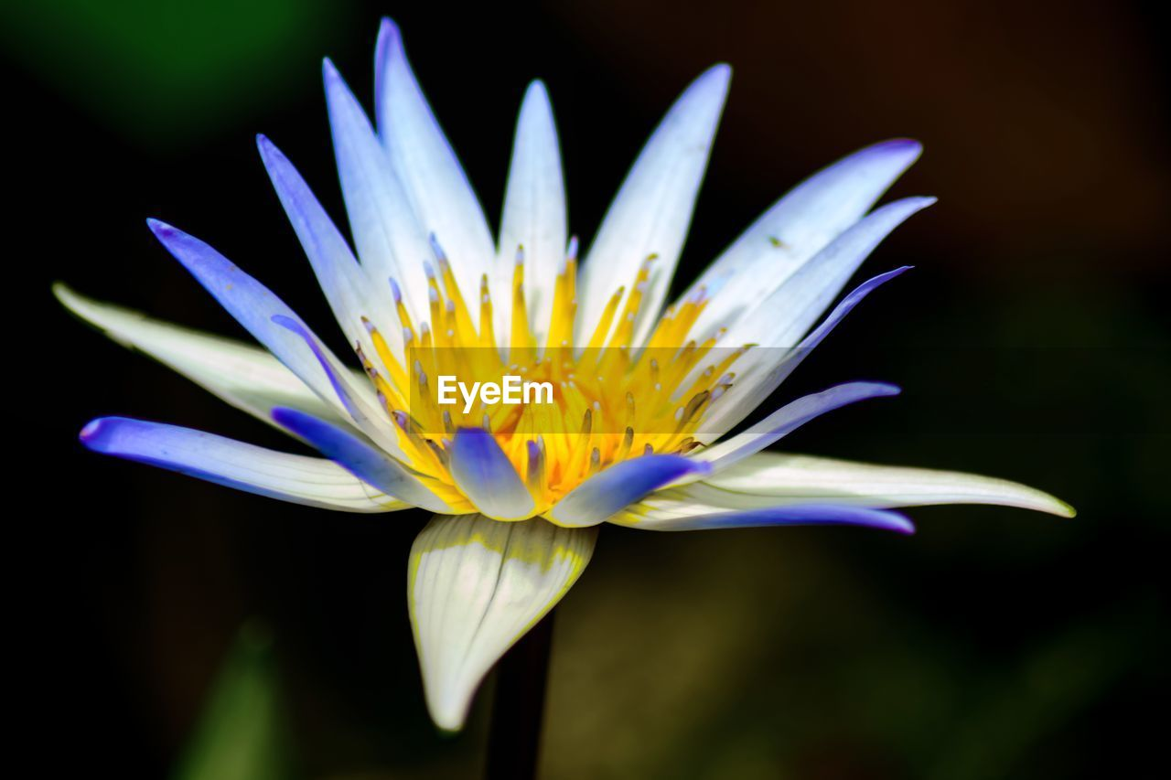 flowering plant, flower, vulnerability, fragility, freshness, petal, flower head, plant, inflorescence, close-up, beauty in nature, growth, pollen, nature, no people, focus on foreground, yellow, botany, selective focus, purple, gazania, soft focus, black background, focus