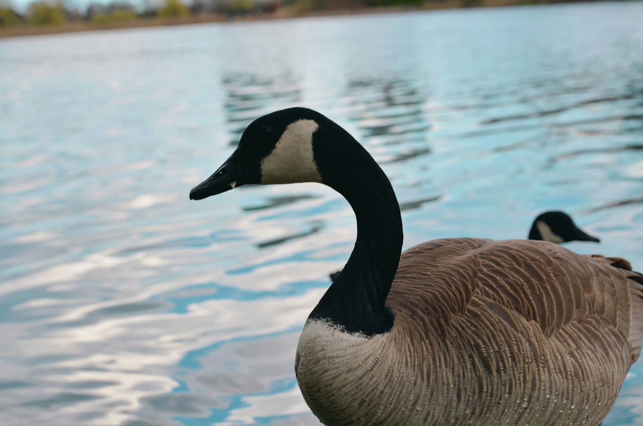 Canada geese in lake