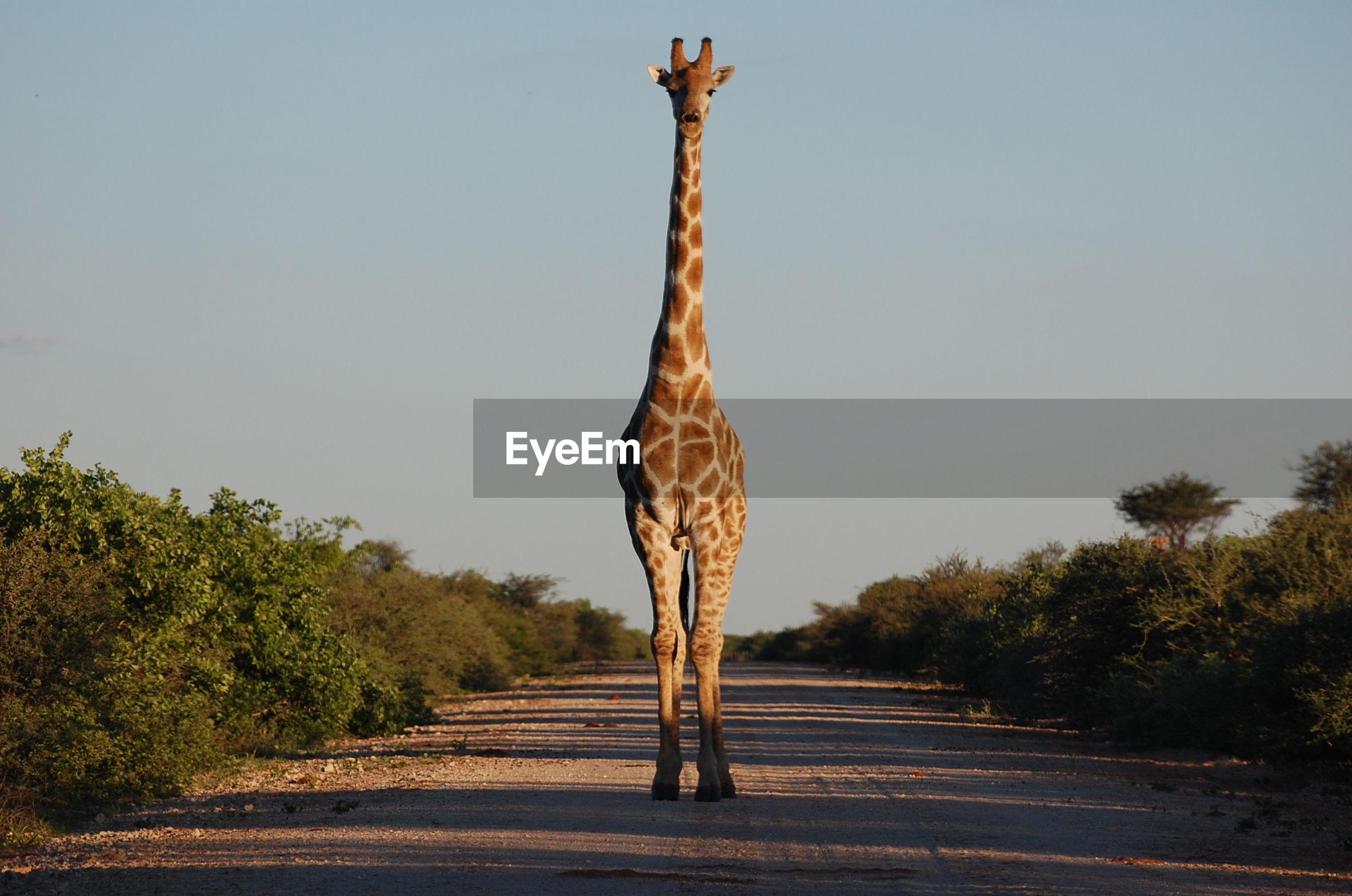 Giraffe standing on dirt road against clear sky