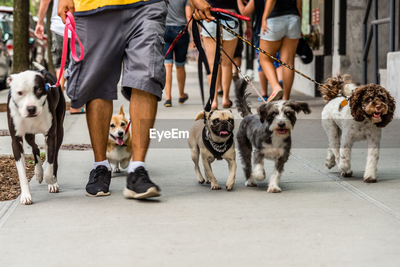 Low section of man walking with dogs on street